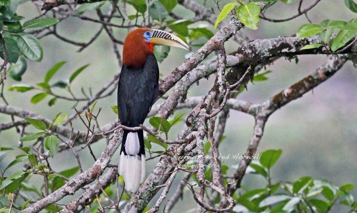 Rufous-Necked Hornbill10
