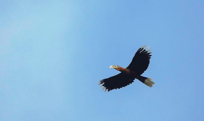 Rufous-Necked Hornbill12