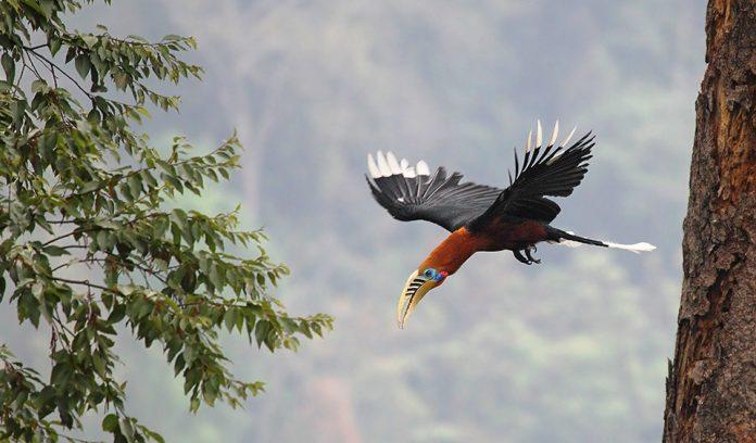 Rufous-Necked Hornbill13