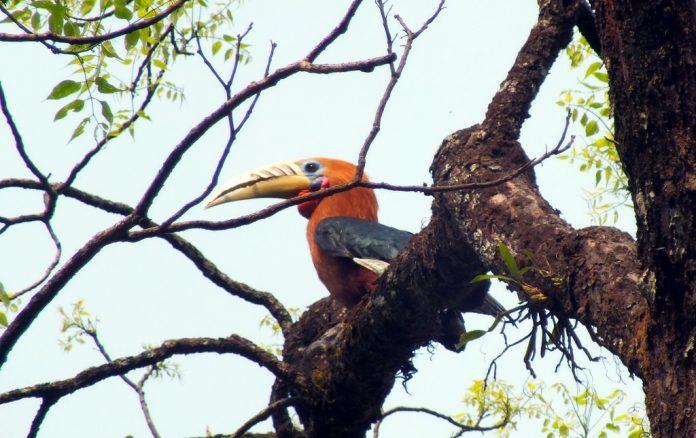 Rufous-Necked Hornbill14