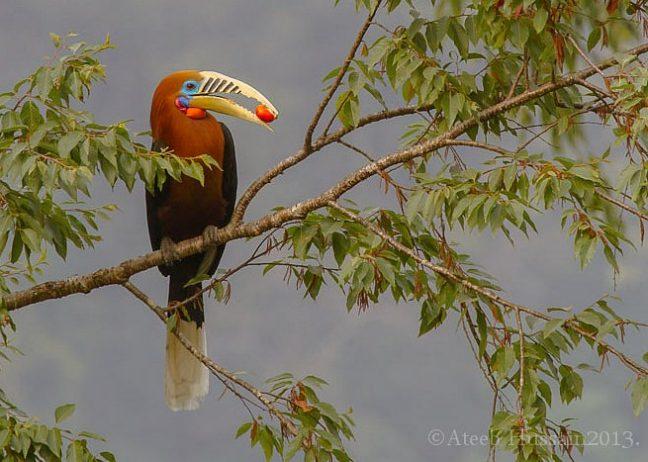 Rufous-Necked Hornbill16