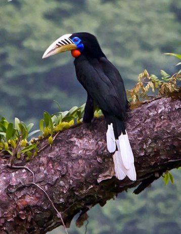 Rufous-Necked Hornbill17