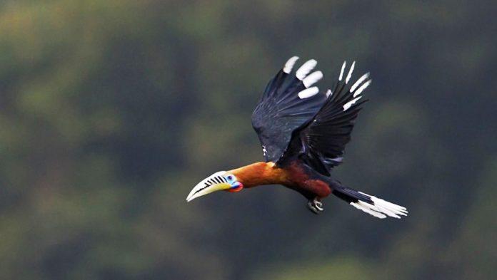 Rufous-Necked Hornbill18