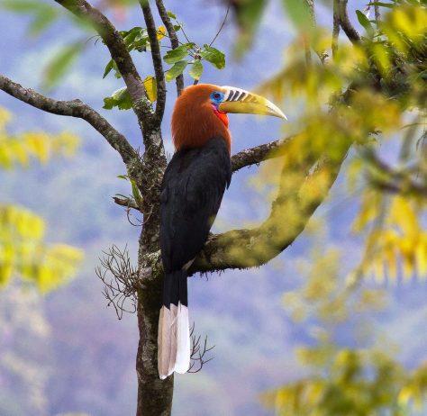 Rufous-Necked Hornbill2