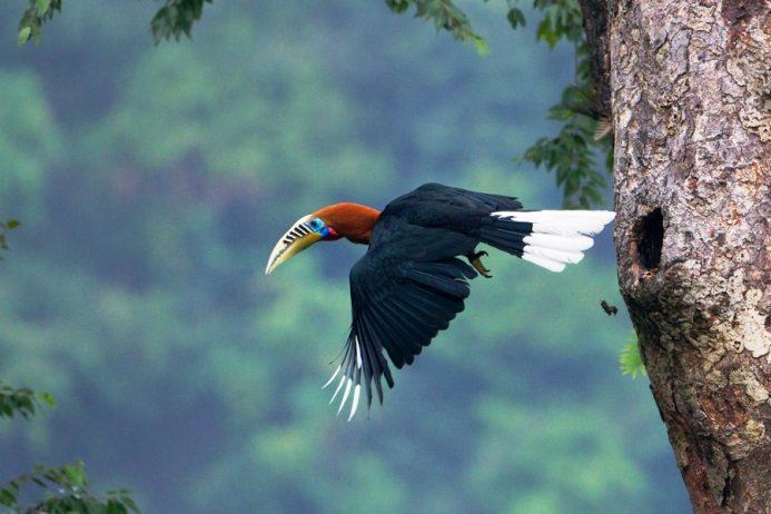 Rufous-Necked Hornbill20