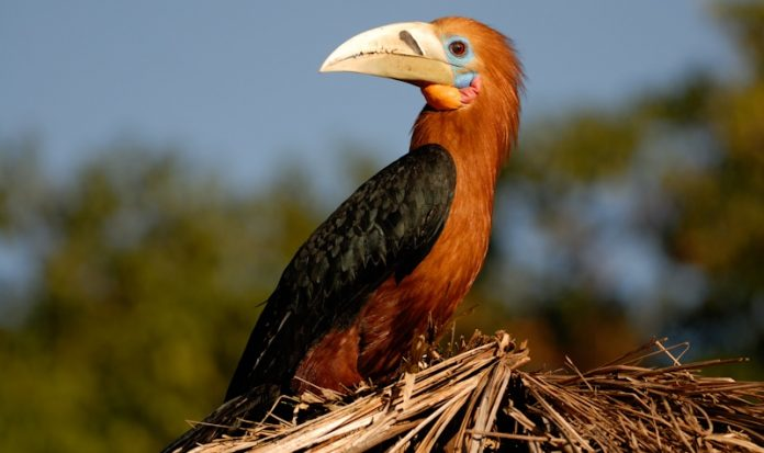 Rufous-Necked Hornbill21