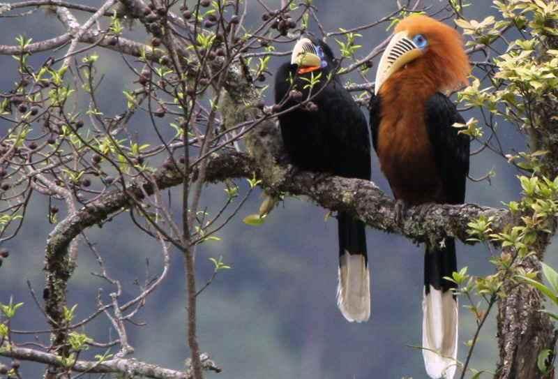 Rufous-Necked Hornbill3