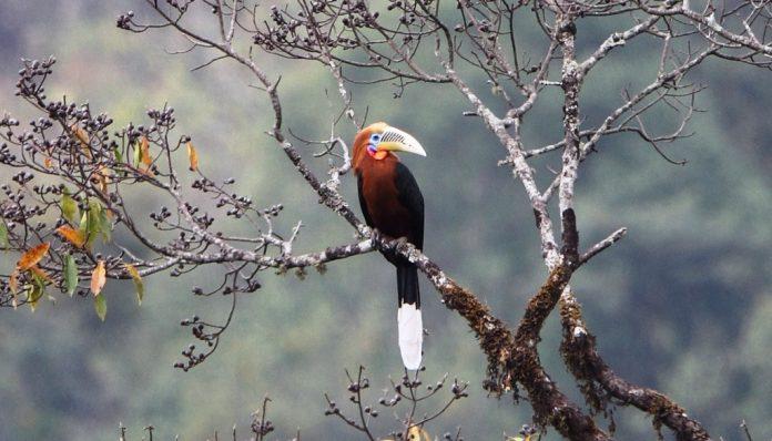 Rufous-Necked Hornbill5