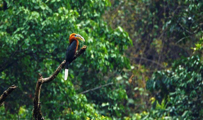 Rufous-Necked Hornbill6
