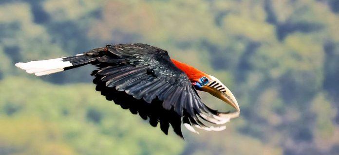 Rufous-Necked Hornbill7