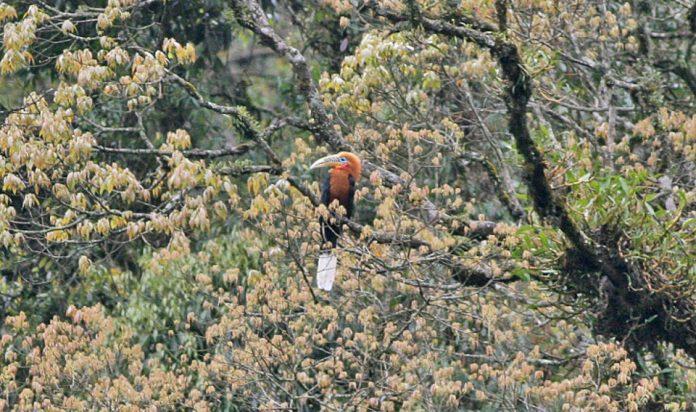 Rufous-Necked Hornbill9