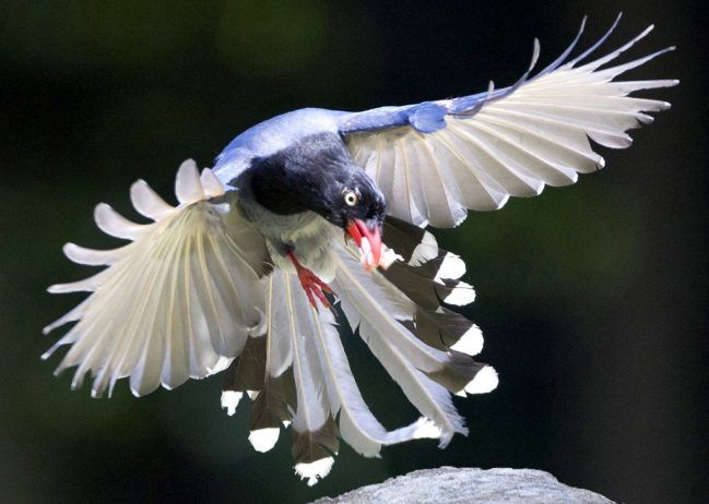 Taiwan Blue Magpie4