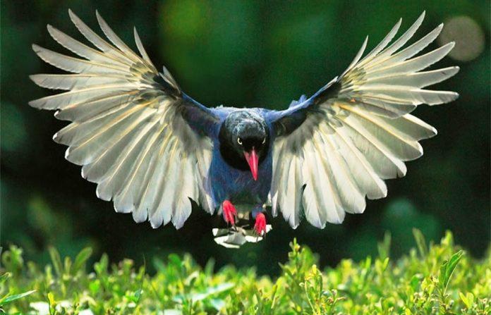 Taiwan Blue Magpie6
