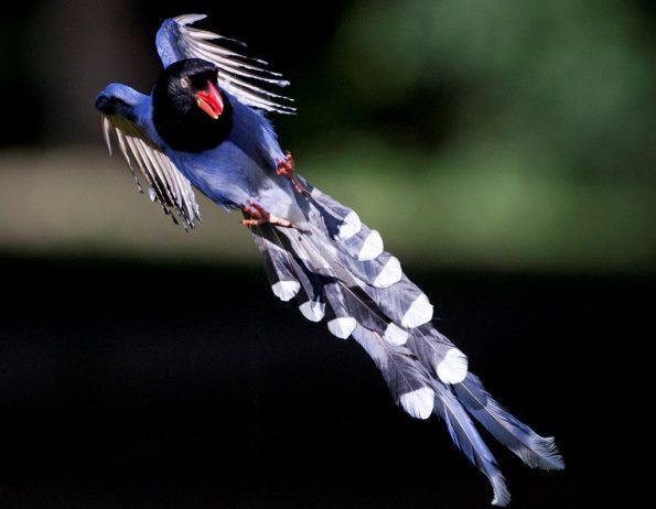 Taiwan Blue Magpie7