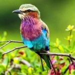 Lilac Breasted Roller is Considered The Most Attractive Birds