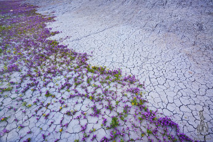 Colorado Plateau desert of wildlife wildflower with scattered areas of forests transformed into fairy-tale carpet of purple & yellow flowers.