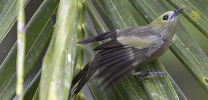 Palm Tanager in the Amazon