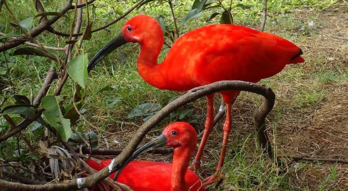 Tupi 'red bird,' also known as the scarlet ibis