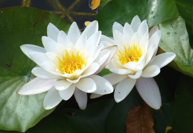 White water lily is perpetual flower forms in dense colonies white water lily is perpetual flower forms in dense colonies charismatic planet charismatic planet dhlflorist Images