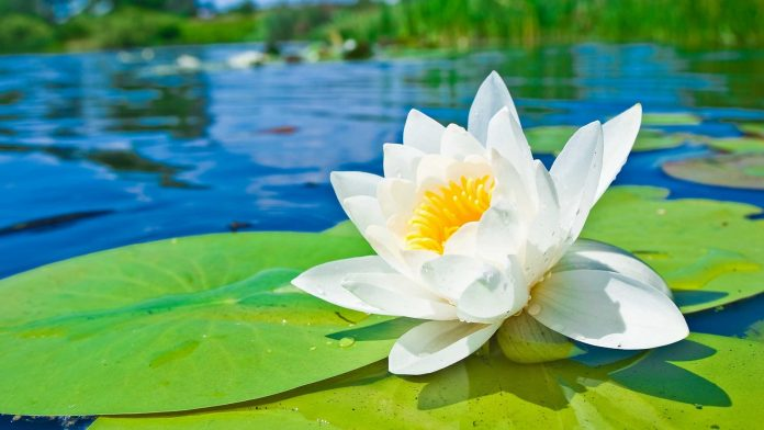White water lily is perpetual flower forms in dense colonies 111 1115 1116 izmirmasajfo