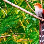 The Sweat Kip Kip Wheep Wheep Squirrel Cuckoo
