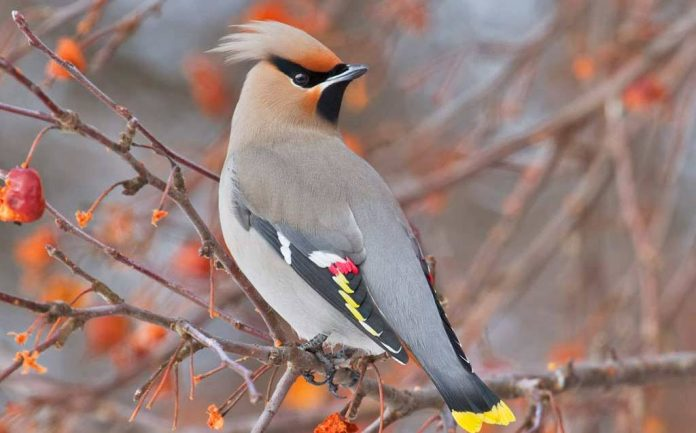 The Bohemian Waxwing got it's name form red waxy tips on mature feathers,for it's bohemian behavior are a favorite on any birder's life list.