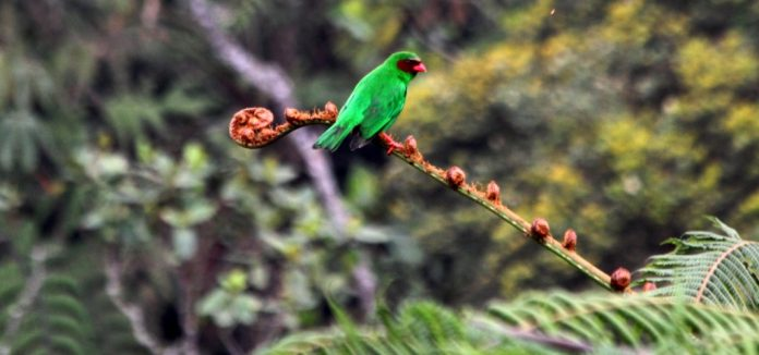 Grass Green Tanager bird is often seen in mixed species flocks, and usually travels in pairs or in groups of 3-6 individuals.