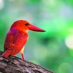 "Ruddy Kingfisher ""Halcyon Coromanda"" A Perfect Photographic Bird"
