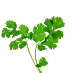 Cilantro is Sweet-Smelling Herb Which Has Healthy Reputation to Healing Spices.