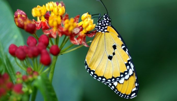 Most Butterfly Classification have an English name all have a Latin one. zoologists Linnaeus published the tenth edition of Systema Naturae