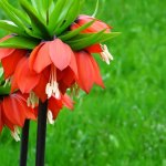 Fritillaria Imperialis A commonly Grown Plant in Gardens