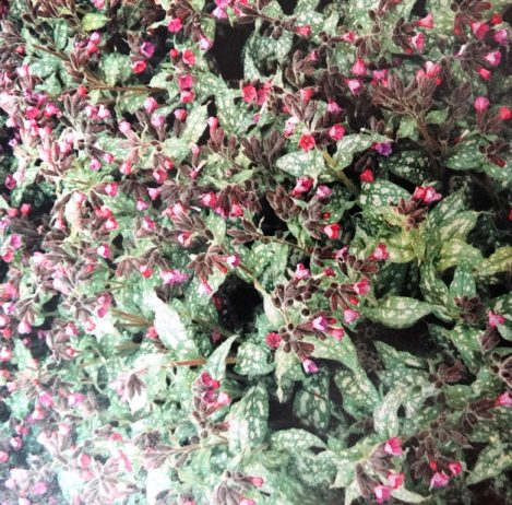 •It was once thought that plants that looked like the symptoms of an illness could be used to cure it. Lungwort, for example was recommended for lung conditions because people believed its white spotted leaves bore a resemblance to diseased lungs.