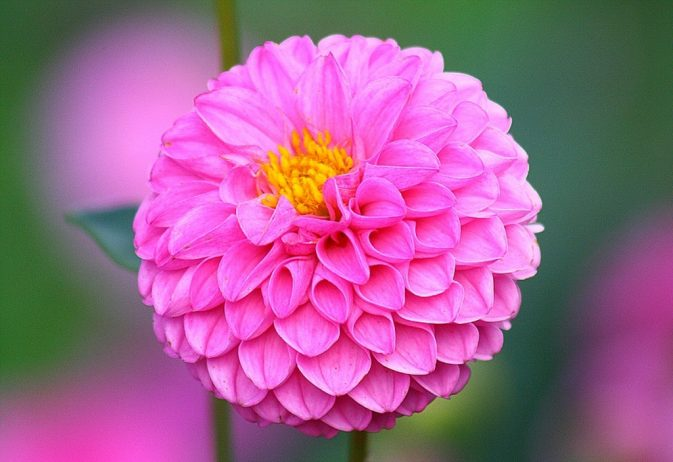 "Dahlias are one of those plants with endless flower classifications, some are single, like daisies; some are like round balls; others are ""Cactus-Flowered"", ""Orchid-Flower"" and ""anemone-Flowered"" or ""peony-flowered"""