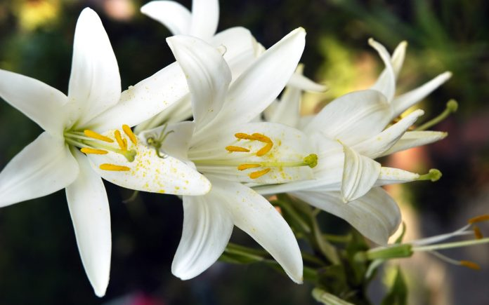 Lily produces magnificent flowers in wide range of shape colors and how to grow lilyalert 2 izmirmasajfo