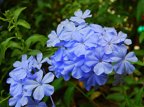 Periwinkle is a Perpetual Flower That Can Bloom throughout the ...