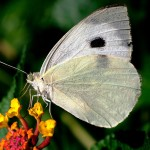 Butterfly as Pests