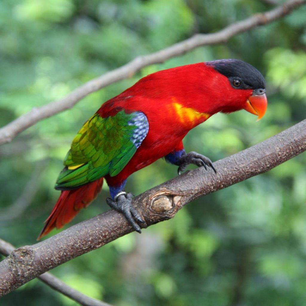 The striking Yellow-bibbed Lory natural habitats are subtropical or tropical moist lowland forests and subtropical or tropical moist montane forests