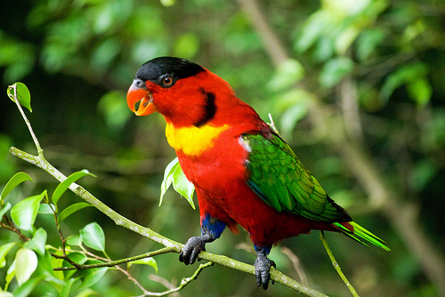 """The bird is listed on CITES II and is well considered a Birdlife International """"restricted-range"""" species"""