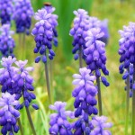 "Grape Hyacinth or ""Muscari"" Flower"