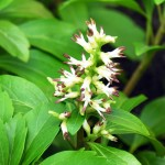 Pachysandra Terminalis is an excellent solution to the problem of what to plant right around tree trunks