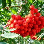 "Mountain Ash ""Sorbus"" is Most Widely Grown Plant"