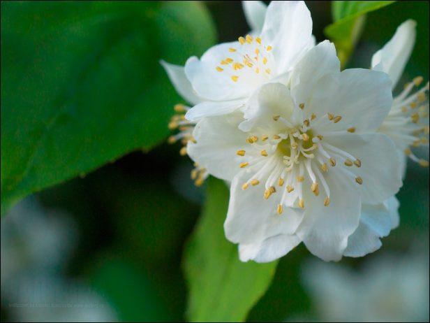 Jasmine Is Popular Evergreen Flowers