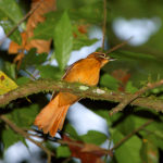 "A New Bird ""Cryptic Treehunter"" Discovered in Brazil"