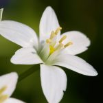 Jasmine is Evergreen Flower