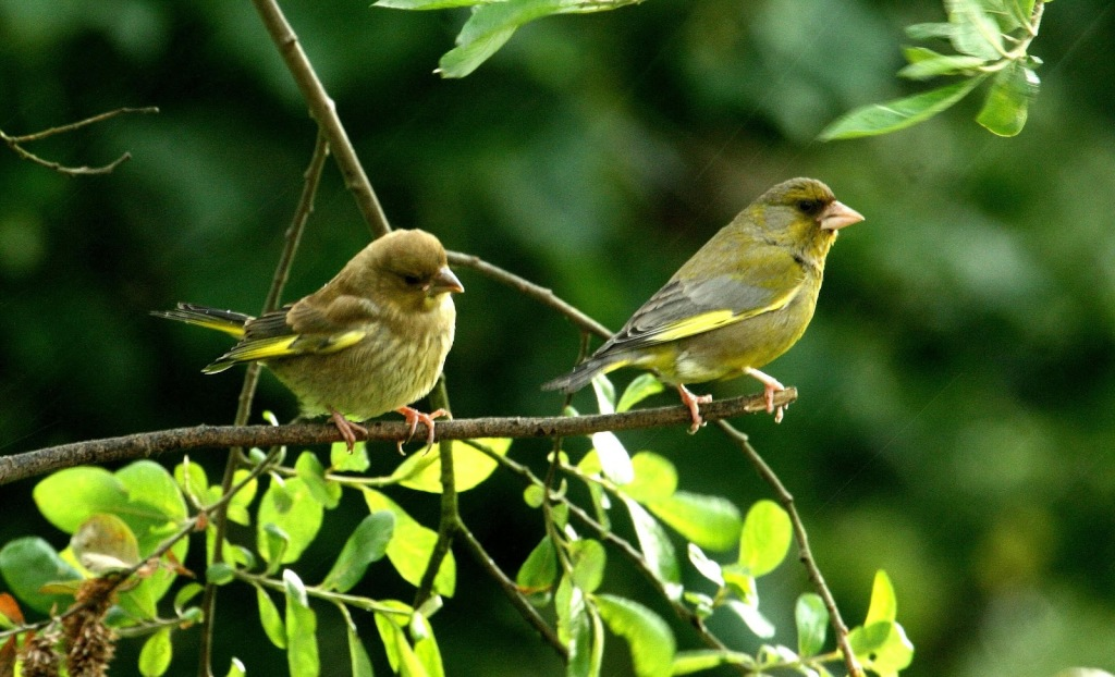 Greenfinches 2
