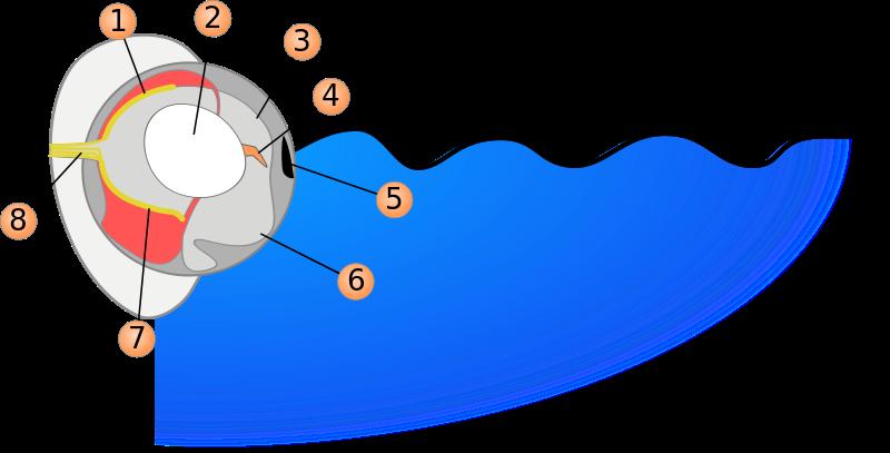 The Four-eyed fish eye. 1.Underwater retina 2.Lens 3. Air pupil 4. Tissue band 5. Iris 6. Underwater pupil 7. Air retina 8. Optic nerve