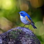Gorgeous Himalayan Bluetail Bird