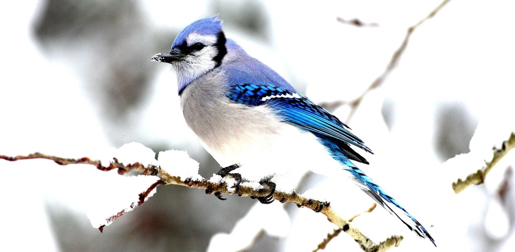 Thi Beautifully colored and with a strident call, Blue Jay's are common in backyards and forests of much of North America.
