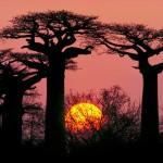 The Grandidier's Baobab Tree