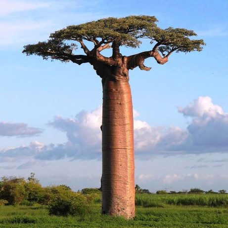 "Grandidier's Baobab Tree is the biggest and most re-known of Madagascar's species of Baobabs. It is also known as ""Adansonia Grandidieri"","